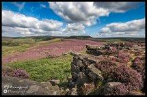 Moorland Beauty