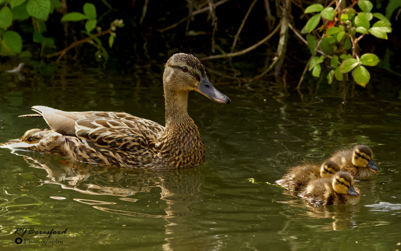Mummy Duck and Ducklings
