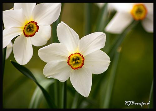 Pheasants Eye Daffodil