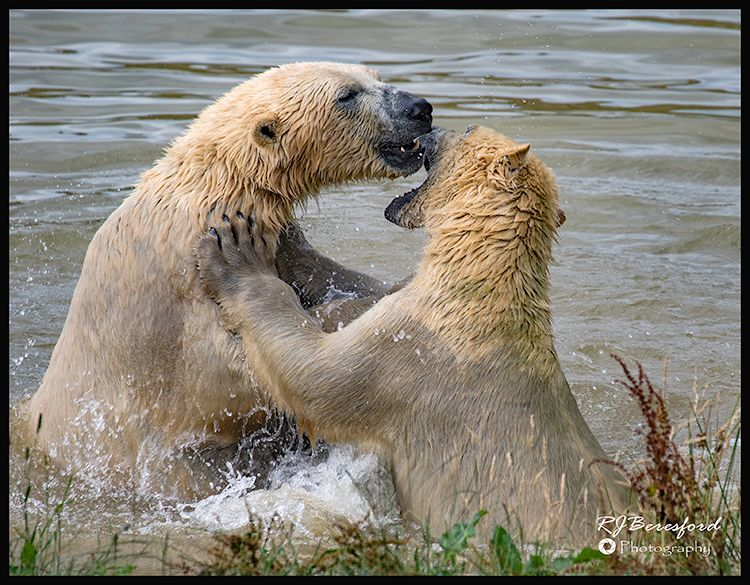 Polar Bear Brawl