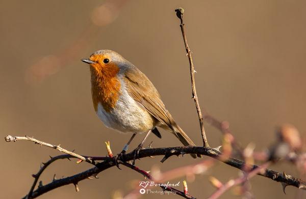 Robin in the Sun
