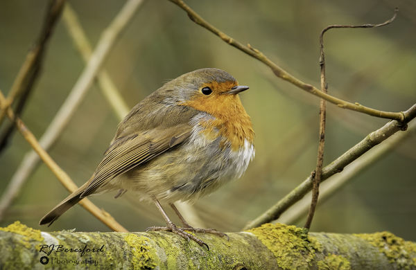 Robin on Lichen Covered Branch