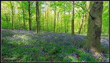 Westwood Bluebells
