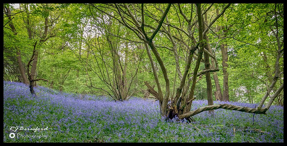 Bluebells with a Twist