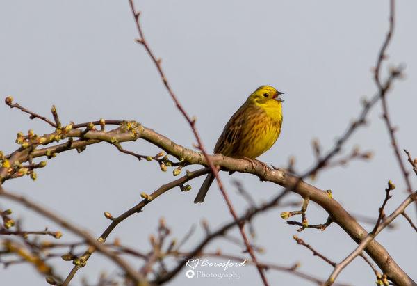 Yellowhammer Singing