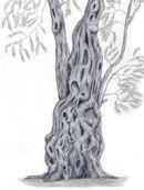 Ancient Olive Tree, Corfu