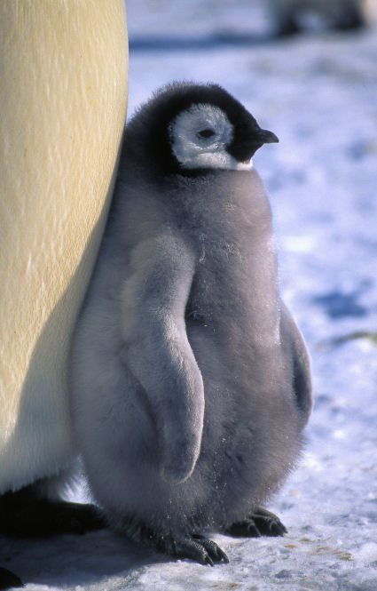 An Emperor Penguin Chick enjoying the sunshine