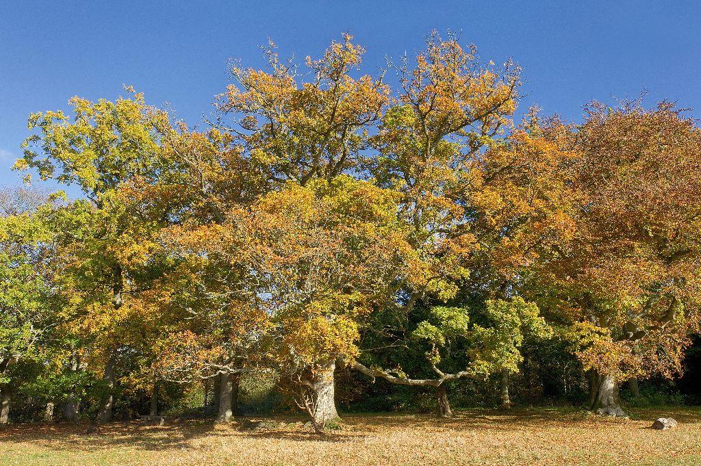 Autumn Gold 1