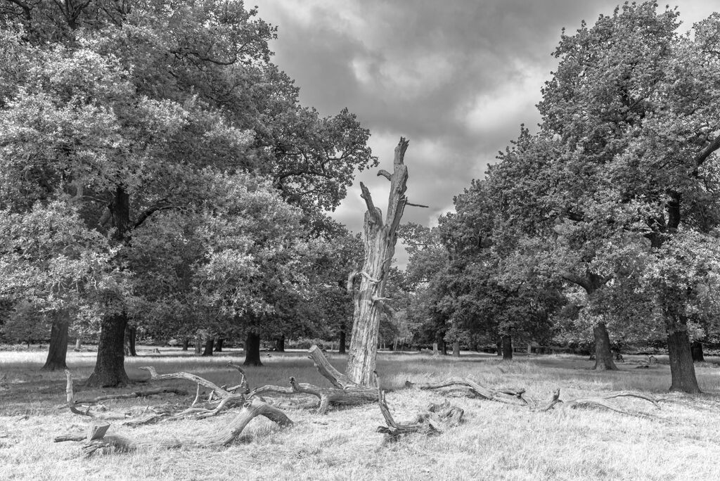 Richmond Park Trees 10 IR