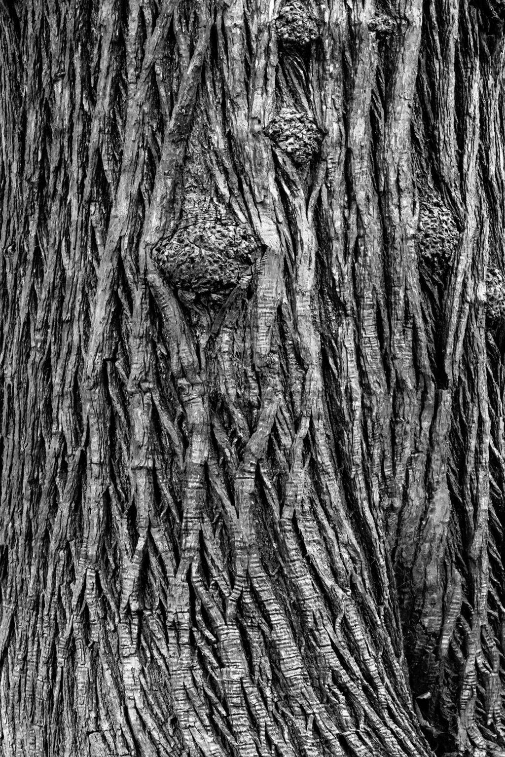Richmond Park Trees BW 9