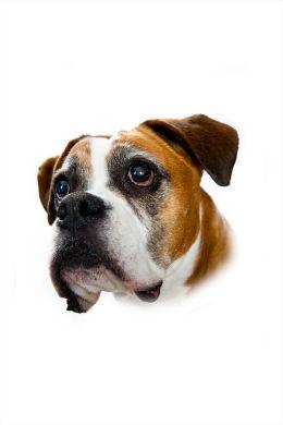 Boxer dog!