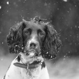 Springer in the snow