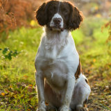 Beautiful light handsome Springer
