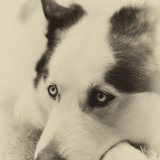 Thoughtful Husky.