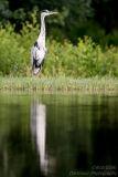 Rothiemurchus Heron