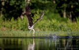 Rothiemurchus Ospreys 01