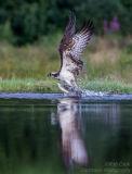 Rothiemurchus Ospreys 02