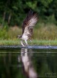 Rothiemurchus Ospreys 05