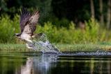 Rothiemurchus Ospreys 11