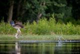 Rothiemurchus Ospreys 12