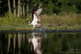 Rothiemurchus Ospreys 15