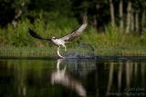 Rothiemurchus Ospreys 20