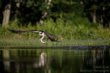 Rothiemurchus Ospreys 21