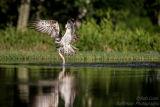 Rothiemurchus Ospreys 22