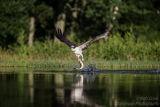 Rothiemurchus Ospreys 23