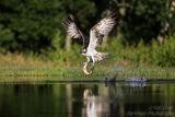 Rothiemurchus Ospreys 25