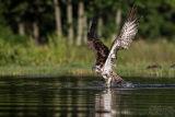 Rothiemurchus Ospreys 29