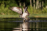 Rothiemurchus Ospreys 31