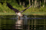 Rothiemurchus Ospreys 32