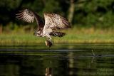 Rothiemurchus Ospreys 33