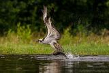 Rothiemurchus Ospreys 35
