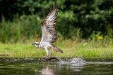 Rothiemurchus Ospreys 37