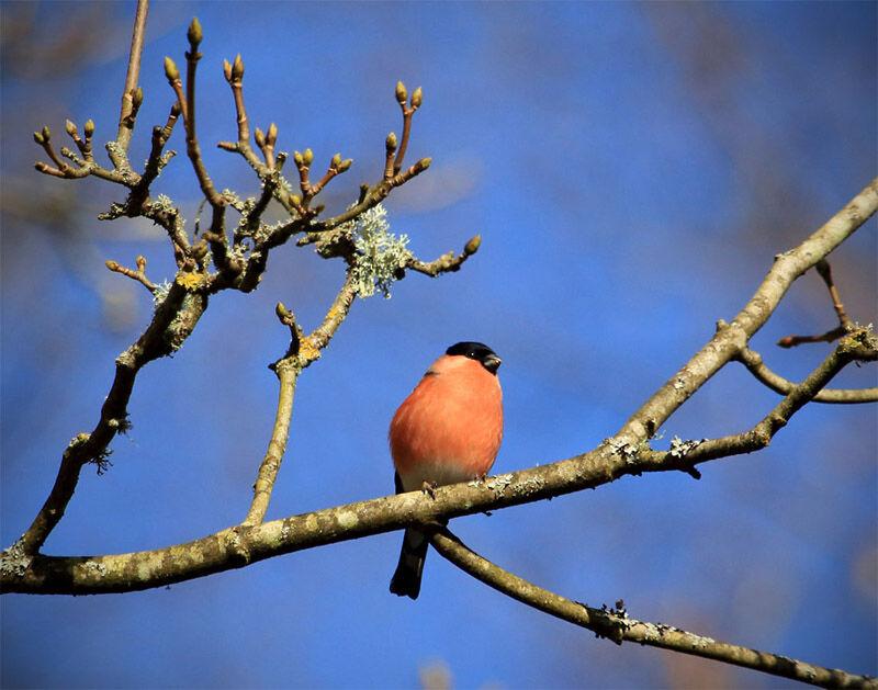 Wyre forest Bullfinch