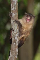 Black-tailed marmoset
