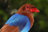 Blue magpie