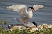 Common terns mating