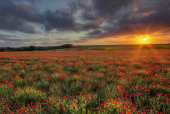 Poppies, Hawkesbury Upton