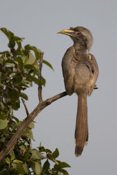 Indian grey hornbill