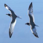 Swallowtailed gulls