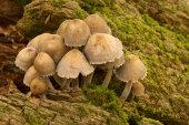 Bonnet fungus