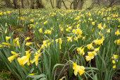 Wild Daffodils