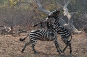 Crawshays zebra