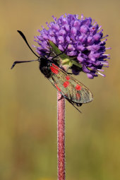 Five-spot burnet moth