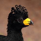Black currasow
