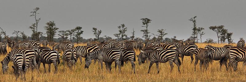 Migrating Burchell's zebra