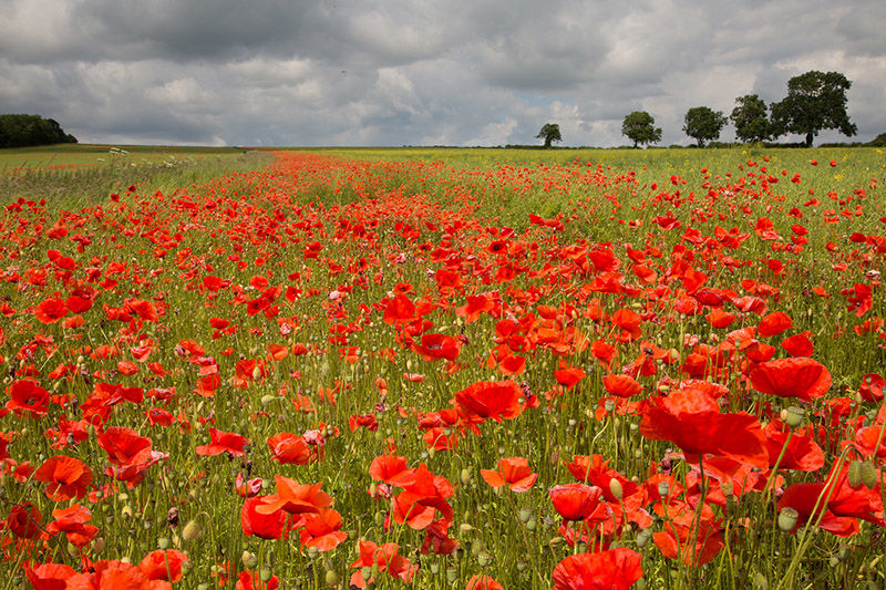 Poppies, Vale of Pickering